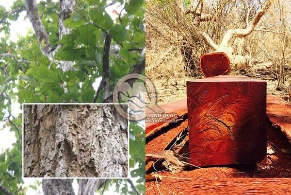 Các đặc điểm gỗ của cây căm xe